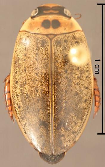 Rhantus gutticollis (Say) - Rhantus gutticollis