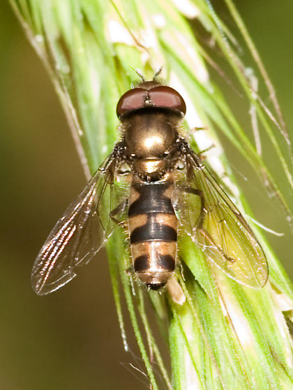 syrphid - Platycheirus - male