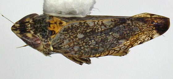 sAZ cicadellid, Scaphytopius maybe? - Scaphytopius