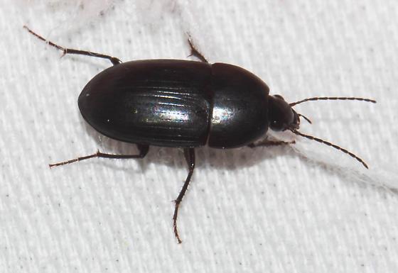 Wide black beetle