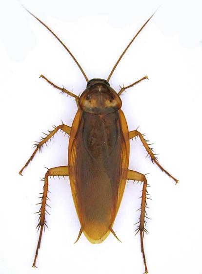 In the UAIC (alive) - Periplaneta americana - male