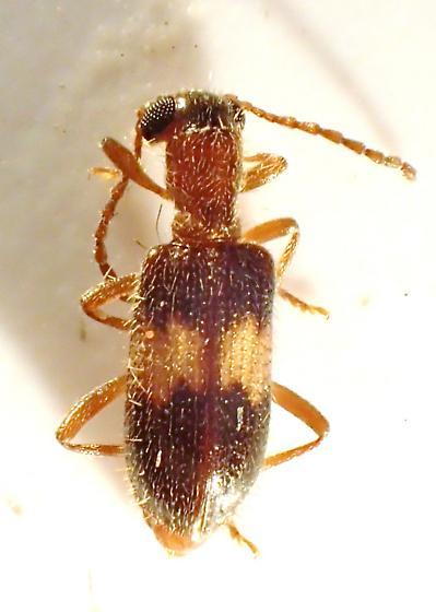Cleridae - Cymatodera