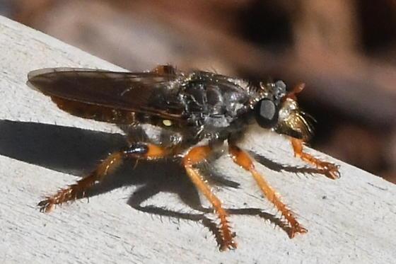 Robber Fly - Andrenosoma hesperium