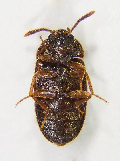 Not sure? - Mycetophagus californicus