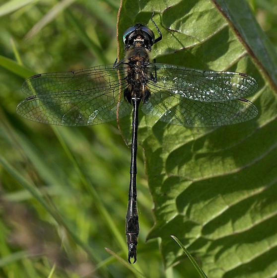 Delicate emerald male - Somatochlora franklini - male