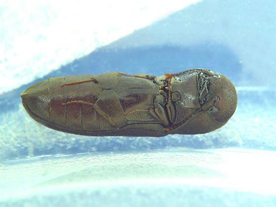 False Click Beetle - Stethon pectorosus