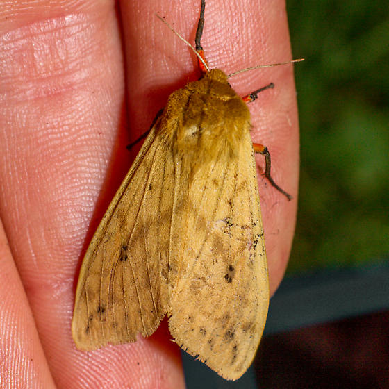 8129 Isabella Tiger Moth - Pyrrharctia isabella