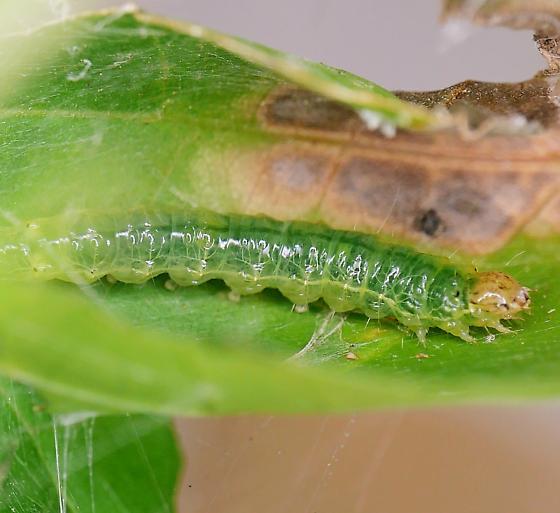 Texas SE Gulf Coast - Life cycle - Asciodes gordialis - male