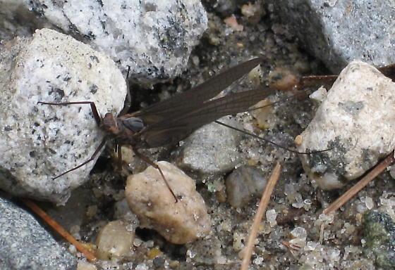 Dark-winged Ephemeroptera  - Leptophlebia
