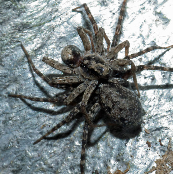 spider gralon gratuit