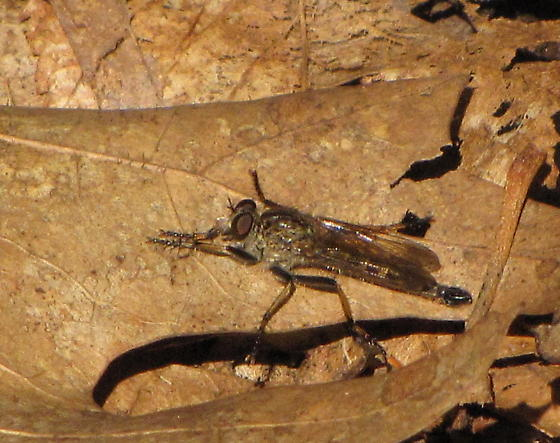 Machimus? - Philonicus fuscatus - male