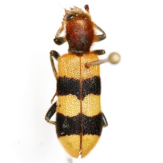 Trichodes bibalteatus LeConte - Trichodes bibalteatus