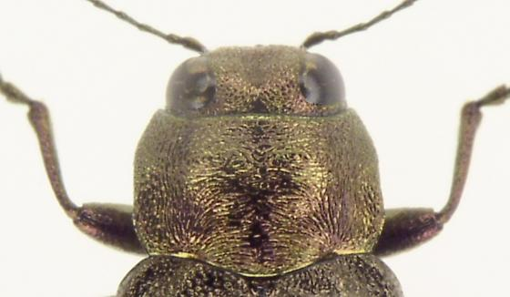 Phaenops drummondi
