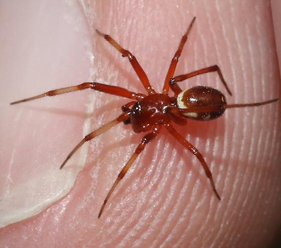 Reddish spider - Asagena fulva