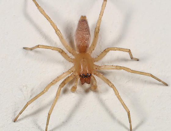 wall spider - male