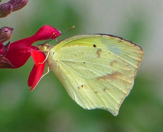 Mexican Yellow - Eurema mexicana