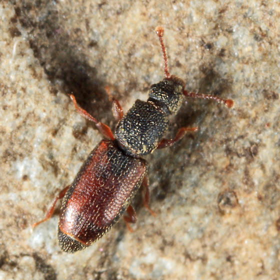 Monotomid - Monotoma bicolor - male