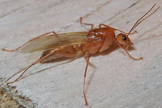 Reddish Carpenter Ant alate - Camponotus castaneus