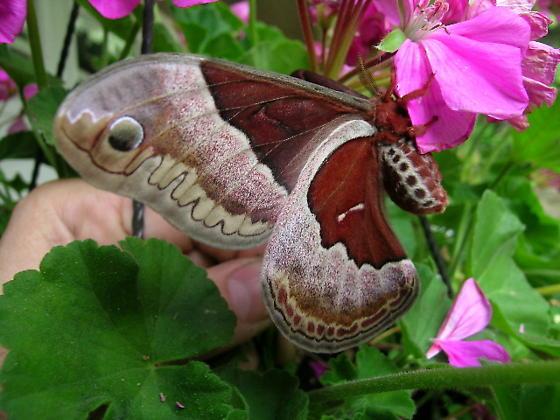 Giant Silk Moth - Callosamia promethea