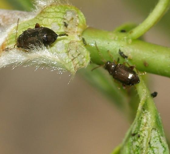 Dark gold Flea beetle on Salix - Crepidodera