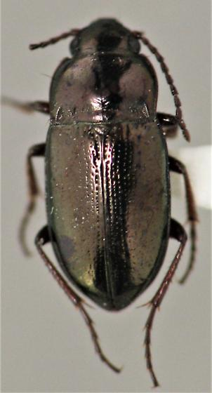 I am thinking/hoping this is a Trachypachidae - Trachypachus