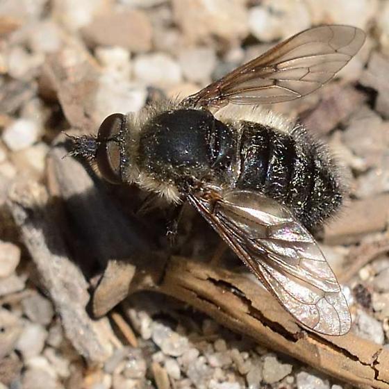 Tahoe bee fly 1 - Conophorus