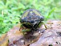Which Cicada? - Neotibicen tibicen