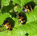 Alder leaf beetles - Chrysomela interrupta