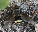 Tachinid fly (Belvosia?) - Belvosia