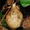 Yellow Garden Spider egg caseing - Argiope aurantia