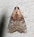 Pyralidae, Double-humped Pococera Moth - Pococera expandens - male