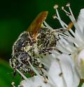 small metallic syrphid fly? - Psilota