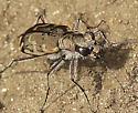 Which Tiger Beetle(s) please - Cicindela repanda