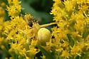 Goldenrod Crab Spider on Goldenrod with prey - Misumena vatia