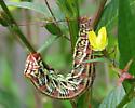 huge 6 inch caterpillar - Eumorpha fasciatus