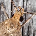 Micro Moth - Psilocorsis