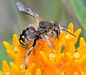 European Wool Carder Bee - Anthidium manicatum