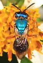small bright blue bee with brown-orange legs - Augochlora pura