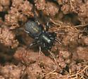Black Spider - Allocosa