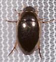 Beetle for ID  - Tropisternus lateralis