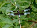 Widow Skimmer ? (Libellula luctuosa) - Libellula luctuosa