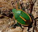 Unknown 'Stink Bug' - Chlorochroa faceta