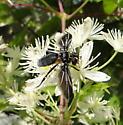 Bee fly? - Trichopoda lanipes