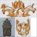 genitalia - Acleris nigrolinea - male