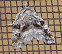 Large Mossy Lithacodia - Protodeltote muscosula