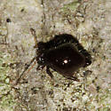 Globular Springtail - Allacma purpurescens