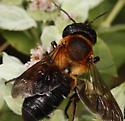 Large Bee - Megachile sculpturalis