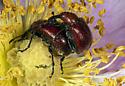 Rose Curculio (Merhynchites bicolor) mating - Merhynchites bicolor - male - female