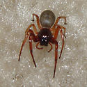 SPIDER ON MY FLOOR! HELP! - Trachelas