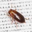Small Beetle - Celina